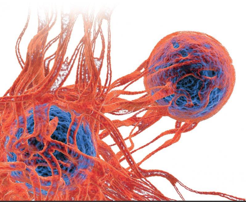 Tumorzellen kurz nach der Teilung. Foto: Science Photo Library/Pasieka, Alfred