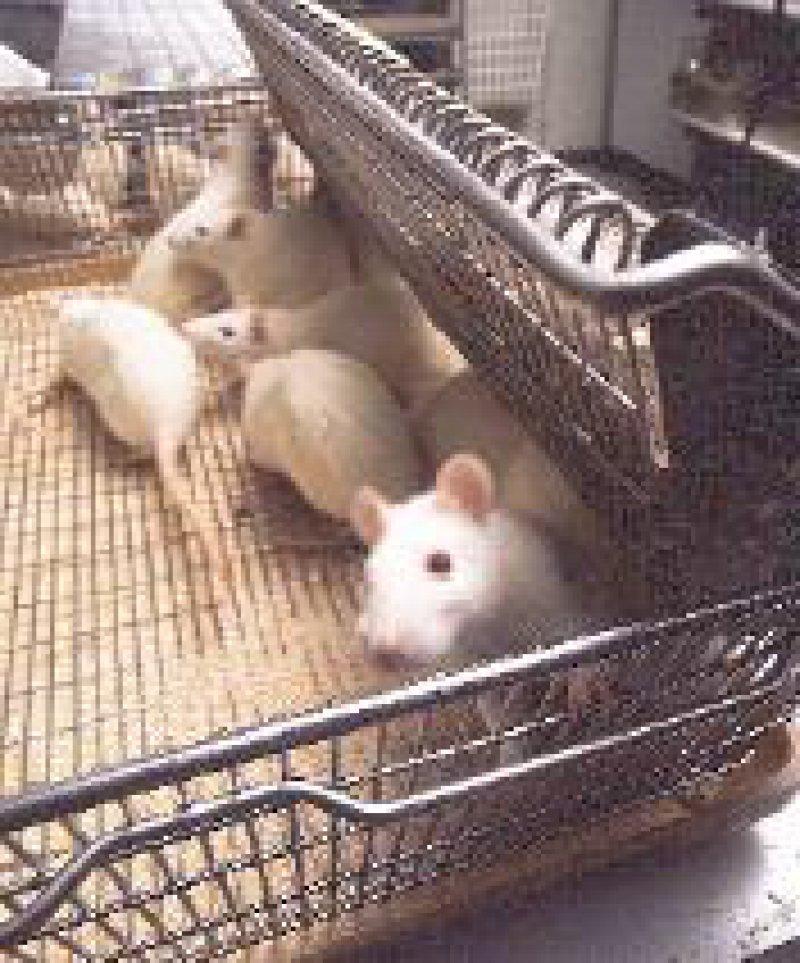 Forschungsnetzwerk für weniger Tierversuche: Ratten im Labor. Foto: BPI