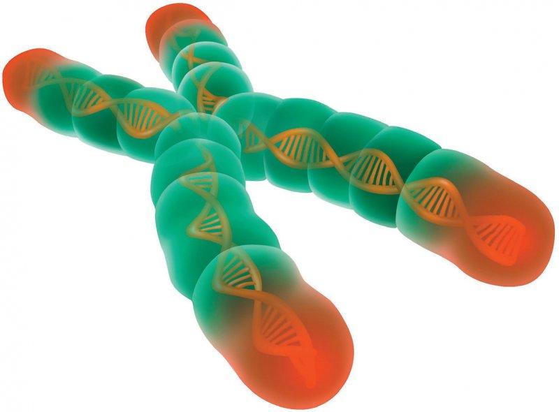 """Telomere (rot), die """"Schutzkappen"""" am Ende von Chromosomen, verkürzen sich mit jeder Zellteilung. Dies wird mit dem Alterungsprozess, Krebs und einem erhöhtem Sterberisiko in Verbindung gebracht. Foto: Science Photo Library/Shockey, Gwen"""