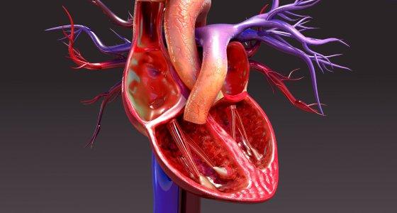anatomisches Herz/7activestudio, stockadobecom