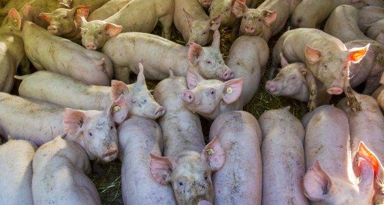 Massentierhaltung in einem Schweinestall. /picture alliance