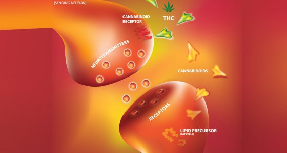 Endocannabionoidsystem - 2 Synapsen /Wut ti kit, stock.adobe.com
