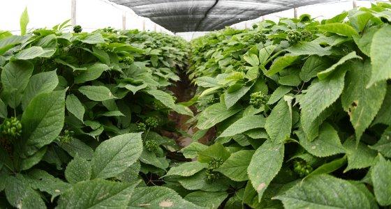 Ginsengfarm in Wausau Wisconsin /picture alliance