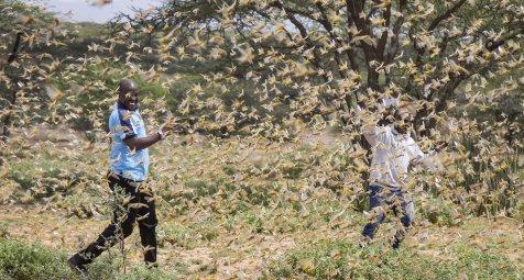 Warnung vor zweiter Heuschreckenwelle in Ostafrika