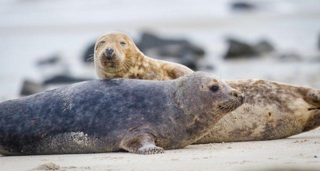 Vogelgrippevirus bei toten Seehunden nachgewiesen