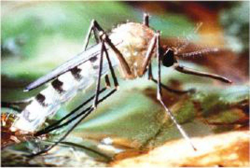 Die weibliche Anopheles-Mücke ist Überträgerin des Plasmodium falciparum. Der Erreger der Malaria tropica zeigte gegen Artemisinpräparate bisher keine Resistenzen. Foto: dpa