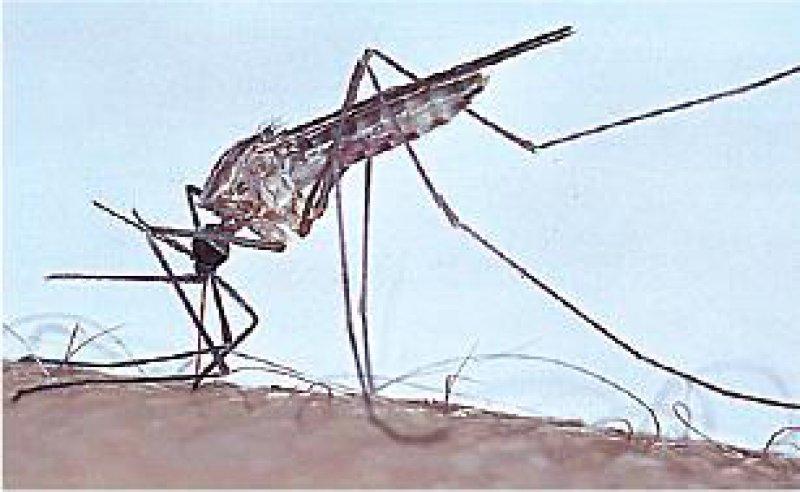 Die richtige Mücke: Die weibliche Anopheles-Mücke ist Überträgerin des Plasmodium falciparum. Foto: Tropeninstitut Hamburg