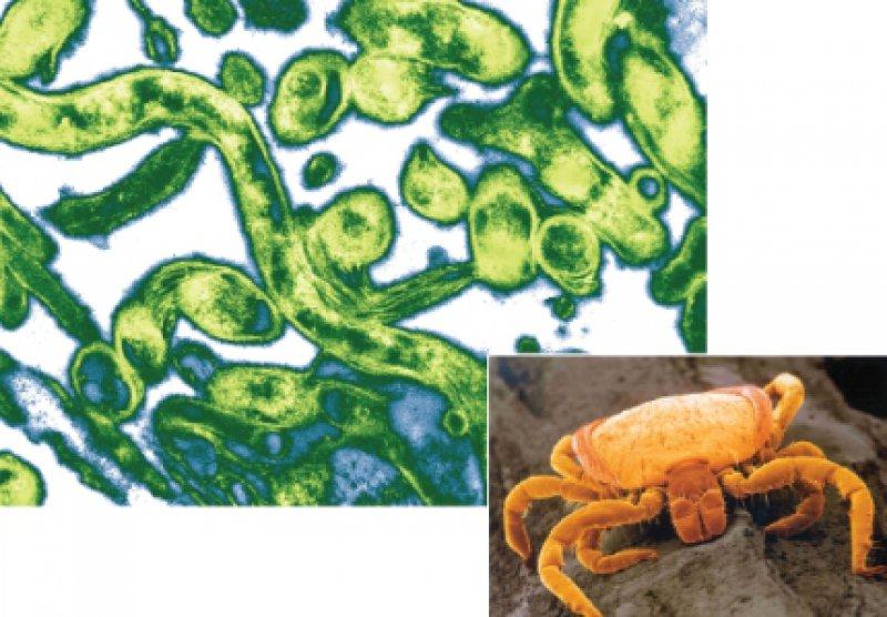 Die Zecke Ixodes ricinus kann für den Menschen durch einen Stich zum trojanischen Pferd werden, indem sie humanpathogene Borrelien (grün: Borrelia burgdorferi) überträgt. Foto oben links: Mauritius Images; Foto unten rechts: Baxter/Chiron