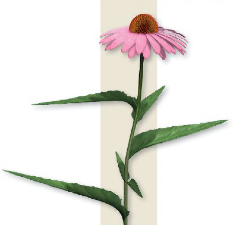 Der Sonnenhut (Echinacea) gehört zur Familie der Kornblumengewächse (Asteraceae). Medizinisch eingesetzt wird er bei Atemwegs- und Harnwegsinfekten, zur Steigerung der Immunabwehr und äußerlich bei schlecht heilenden Wunden. Foto: picture alliance/medicalpicture