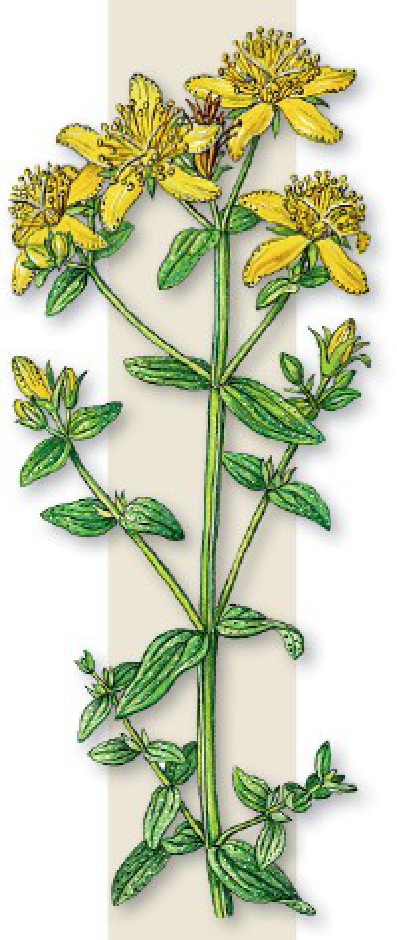 Johanniskraut (Hypericum perforatum), auch Tüpfeljohanniskraut oder Tüpfelhartheu genannt, ist eine Pflanze aus der Familie der Johanniskrautgewächse (Hypericaceae). Medizinisch eingesetzt wird es unter anderem zur Behandlung von leichten bis mittleren depressiven Verstimmungen oder nervöser Unruhe. Foto:picture alliance/bifab
