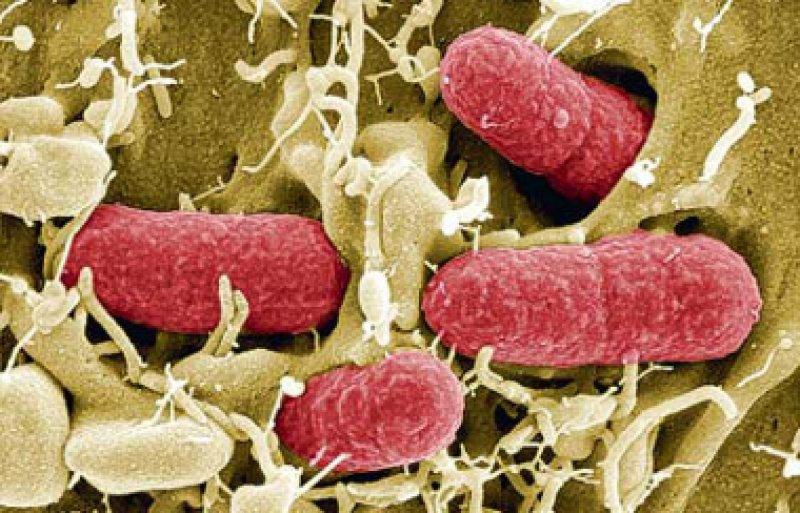 Enterohämorrhagische E. coli (EHEC) lösten im vergangenen Jahr schwere Erkrankungen aus. Foto: picture alliance/Manfred Rohde, HZI