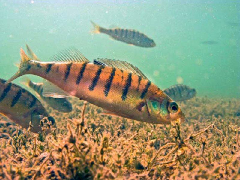Benzodiazepine bereits in kleinsten Mengen haben erhebliche Auswirkungen auf Flussbarsche. Sie werden mutiger und verlassen eher ihr Versteck.
