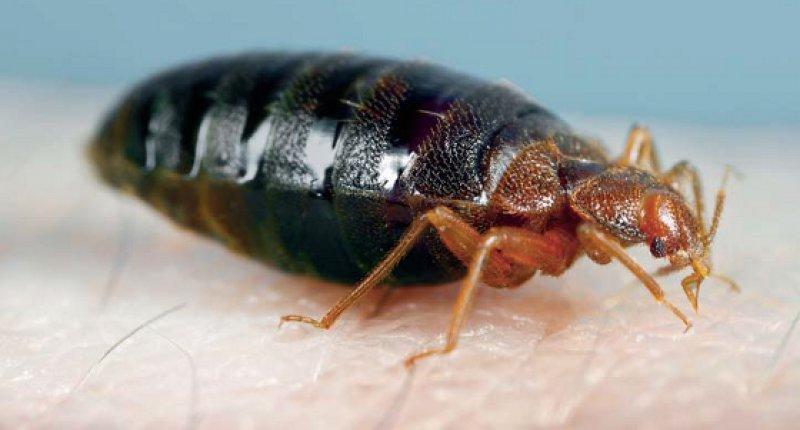 Adulte Bettwanze: vollgesogen erreicht sie eine Größe von neun Millimetern. Fotos: S. Doggett