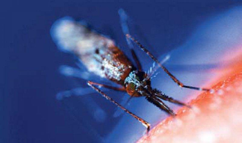 Gefährlicher Stich: Die weibliche Anopheles-Mücke überträgt den Malaria-Erreger. Foto: dpa