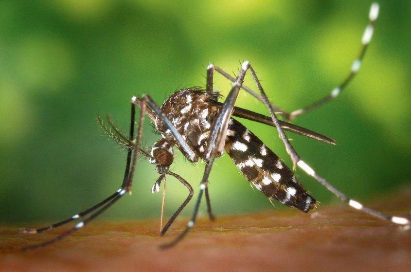 Die Asiatische Tigermücke (Aedes albopticus) kann das Zikavirus vermutlich übertragen. Sie kommt in Teilen Süddeutschlands vor. Foto: dpa