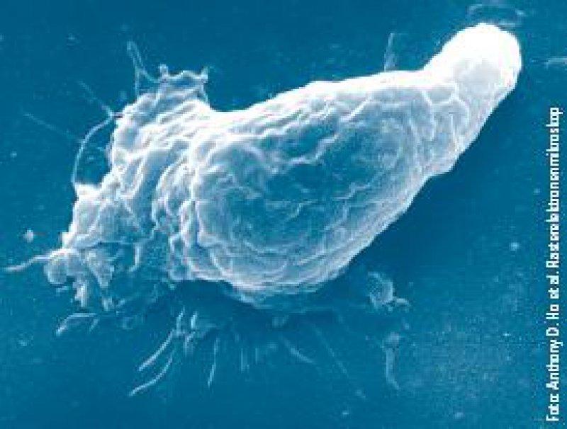 Das Plastizitäts-Potenzial der hämatopoetischen Stammzellen erscheint unbegrenzt. Es können Leber-, Muskel-, Knorpel- und sogar Nervenzellen abgeleitet werden.