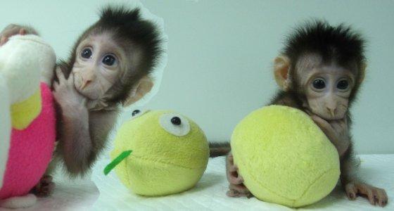Chinesische Forscher klonen Affen [0:43]